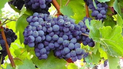 blue-grapes-77376 640