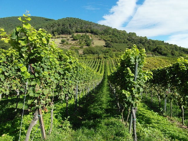 vineyards-259860 640